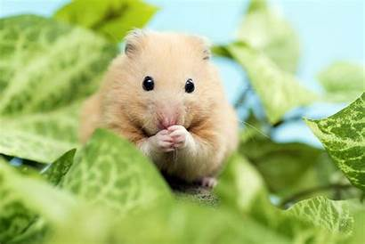 Hamster Cannibalistic Animal Hamsters Creatures Adorable Eat