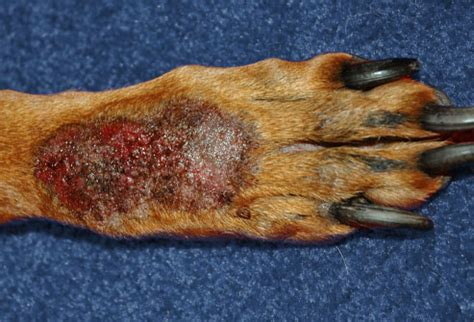 pictures  skin problems  dogs  dandruff  ringworm
