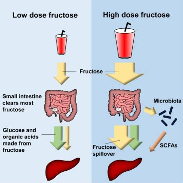 small intestine converts dietary fructose  glucose