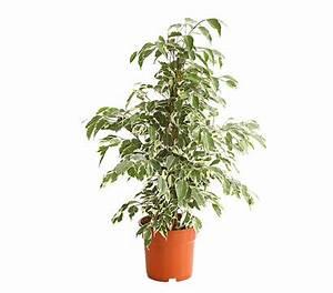 Ficus Benjamini Pflege Gelbe Blätter : birkenfeige 39 twilight 39 dehner garten center ~ Lizthompson.info Haus und Dekorationen