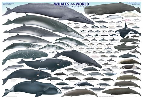Whales Of The World Poster By Uko Gorter Natural History