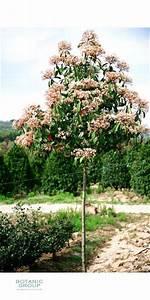 Red Robin Hochstamm : photinia serrulata red robin glanzmispel ~ Michelbontemps.com Haus und Dekorationen