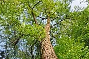 Bonsai Baum Schneiden : ginkgo pflanzen schneiden pflegen ~ Frokenaadalensverden.com Haus und Dekorationen