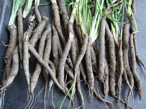 list of edible root salsify oyster plant veggie gardening tips