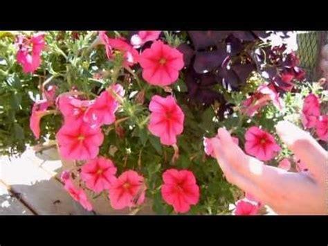how to maintain petunias petunias petunia care and youtube on pinterest