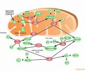 Urea Cycle Pathwayrat Genome Database