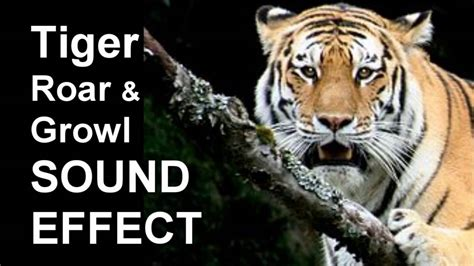 tiger roar growl sound effect youtube