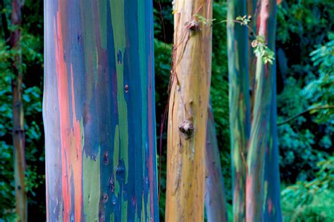 rainbow eucalyptus trees maui hawaii world for travel