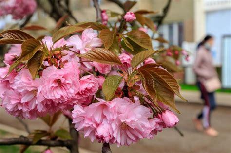 Branches Of Beautiful Blooming Pink Sakura Flowering