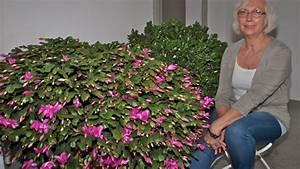 Hortensien überwintern Im Keller : im keller berwintern riesiger weihnachtskaktus steht in ~ Lizthompson.info Haus und Dekorationen