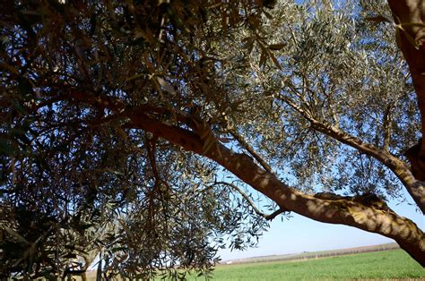 how much is an olive tree pruning olive trees without too much wood the olives will be better and more