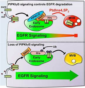 Richard A. Anderson: The Phosphoinositide Signaling ...