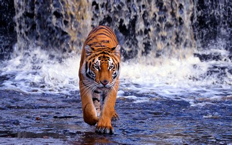 bengal tigers latest hd wallpapers  top hd animals