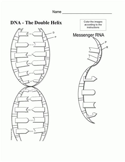 dna structure and replication coloring worksheet the