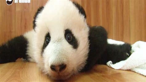 Panda Cubs Make Their Adorable Debut Nbc News