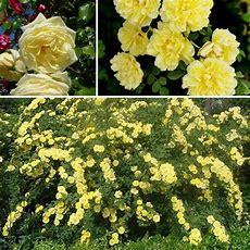 100pcs Yellow Climbing Rose Seeds Multiflora Perennial