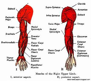 Human Arm Muscle Diagram Of Arm Muscles Upper Arm Muscles