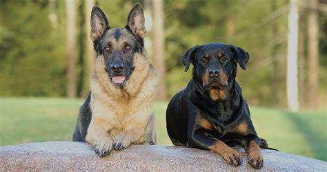 Funny German Shepherd Dogs Meme