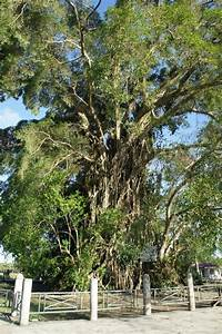 OUR PHILIPPINE TREES: The Mystic Balete Tree of Baler