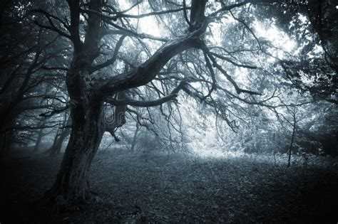 dark forest  twisted mysterious tree  fog stock