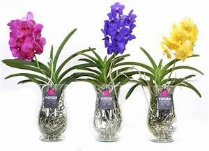 Orchidee Vanda Pflege : vanda klaudia mix im glas florastore ~ Lizthompson.info Haus und Dekorationen
