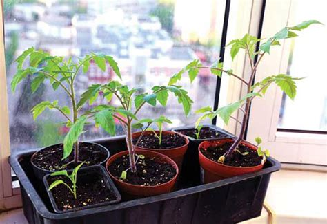 Growing Tomatoes Indoors On A Windowsill by Expert Tips For Growing Early Tomato Varieties Organic