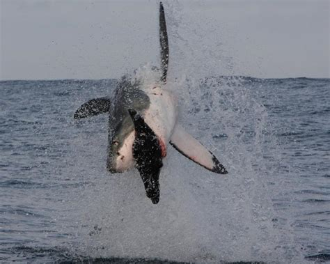 breaching great white shark   hunt smithsonian ocean