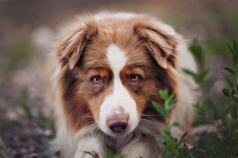 pictures puppies australian shepherd dogs dina telhami