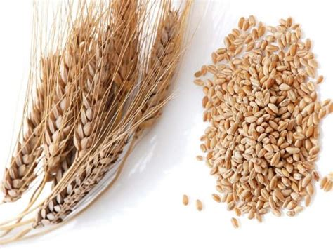wheat value 11 incredible wheat benefits organic facts