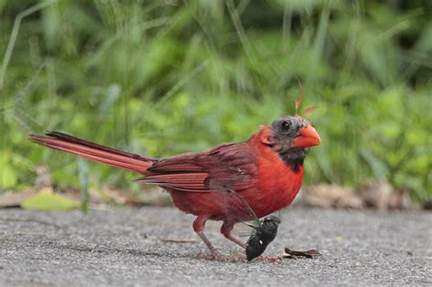 molting cardinal and cicada photo joanne kamo photos at