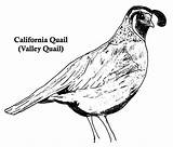 Quail California Coloring Valley Drawing Clip Draw Drawings Angel Quails Realistic Sheets Busy Bee Rose Colorluna sketch template