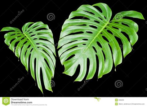 Large Tropical Leaves Stock Photos  Image 590203