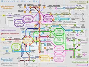 U0026 39 Tracking Bugs U0026 39  Reveal Secret Of Cancer Cell Metabolism