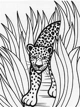 Rainforest Coloring Leopard Pages Animal Jaguar Predator Animals Printable Drawing Grass Print Drawings Tall Sheets Jaguars Crafts Forest Bloodhound Rain sketch template