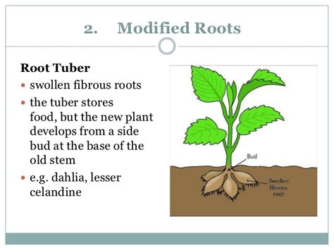 Names Of Modified Roots by Asexual Reproduction Of A Flowering Plant