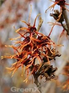 Glanzmispel Rote Blätter Fallen Ab : hamamelis intermedia 39 feuerzauber 39 rote zaubernuss ~ Lizthompson.info Haus und Dekorationen
