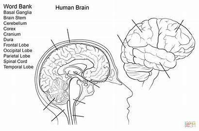 Brain Worksheet Coloring Human Anatomy Printable Worksheets