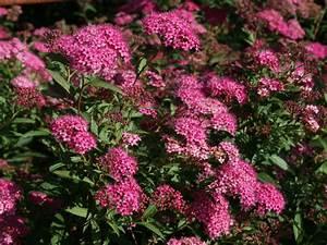 Rote Stauden Winterhart : rote sommerspiere 39 anthony waterer 39 spiraea bumalda ~ Michelbontemps.com Haus und Dekorationen