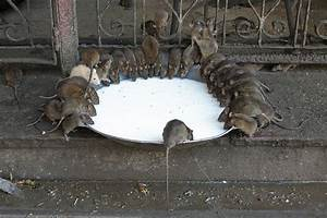 Unseen Rajasthan - India: India Travel- Temple Where Rat's ...