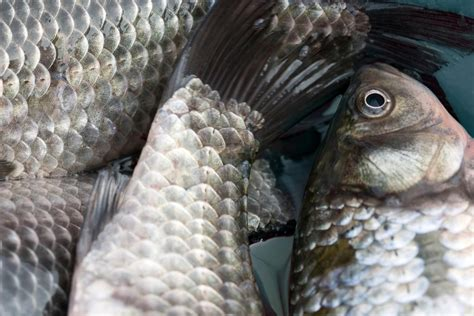 anatomy   fish