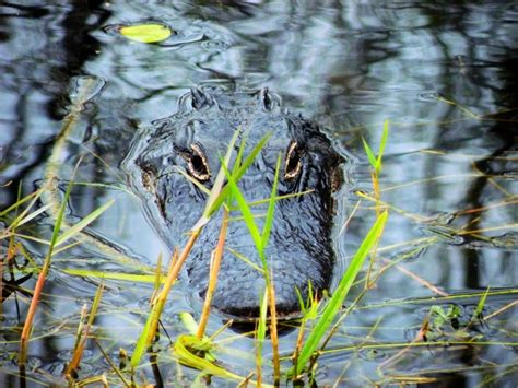 Airboat Alligator Tour by Alligator Airboat Tours Orlando Attractions Travelingmom