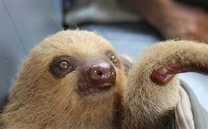 Pet Sloth | www.pixshark.com - Images Galleries With A Bite!