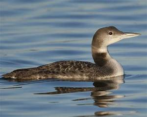Common Loon | Audubon Field Guide