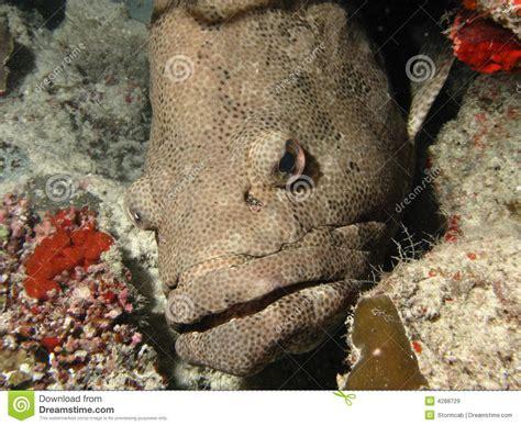 grouper arabian preview