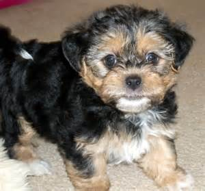 yorkie shih tzu mix pictures image search results breeds picture