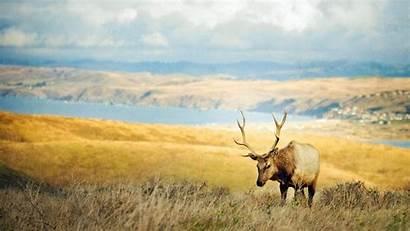 Elk Wallpapers