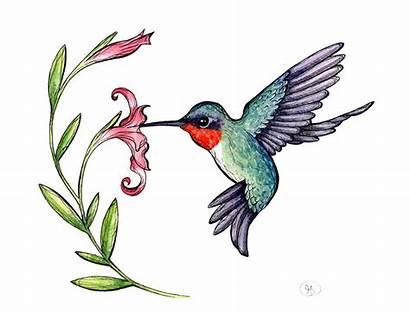 Clipart Hummingbird Native Clipartion