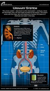 Diagram Of The Human Urinary System  Infographic