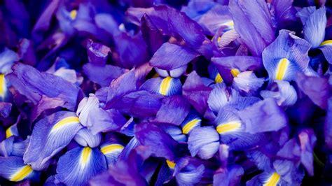 wallpaper iris   wallpaper macro flowers purple