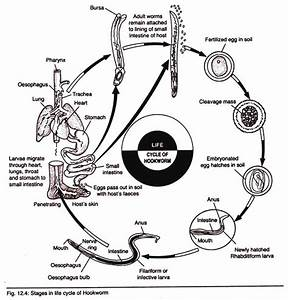 Life Cycle Of Adult Hookworm  With Diagram